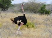 Fotos do Avestruz Masai 21