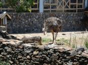 Fotos do Avestruz Masai 22