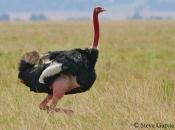 Fotos do Avestruz Masai 23