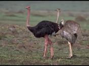 Fotos do Avestruz Masai 1
