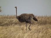 Fotos do Avestruz Masai 2