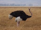 Fotos do Avestruz Masai 3