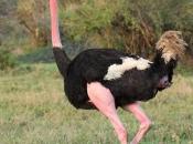 Fotos do Avestruz Masai 4