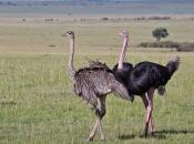 Fotos do Avestruz Masai 6