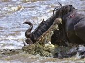 Fotos do Crocodilo do Nilo1