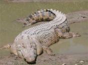Fotos do Crocodilo do Nilo10