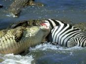 Fotos do Crocodilo do Nilo12