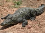 Fotos do Crocodilo do Nilo17