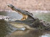 Fotos do Crocodilo do Nilo5