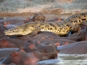 Fotos do Crocodilo do Nilo6