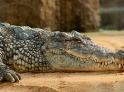 Fotos do Crocodilo do Nilo7