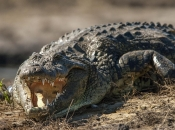 Fotos do Crocodilo do Nilo9