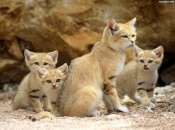 Fotos do Gato da Areia6