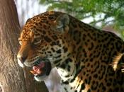 Fotos do Jaguar Animal 10