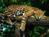 Fotos do Jaguar Animal 12