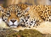 Fotos do Jaguar Animal 14