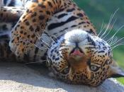Fotos do Jaguar Animal 17