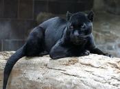 Fotos do Jaguar Animal 18