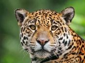 Fotos do Jaguar Animal 2