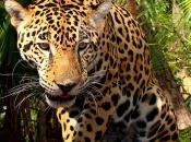 Fotos do Jaguar Animal 3