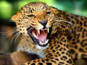 Fotos do Jaguar Animal 4
