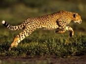 Fotos do Jaguar Animal 6