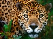 Fotos do Jaguar Animal 7