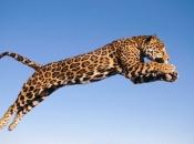 Fotos do Jaguar Animal 8