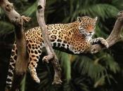 Fotos do Jaguar Animal 9