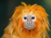 Fotos do Mico Leão Dourado1