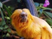 Fotos do Mico Leão Dourado10
