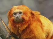 Fotos do Mico Leão Dourado17