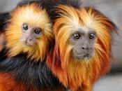 Fotos do Mico Leão Dourado7