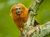 Fotos do Mico Leão Dourado9