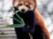 Fotos do Panda Vermelho 1