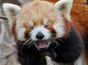 Fotos do Panda Vermelho 11