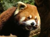 Fotos do Panda Vermelho 12