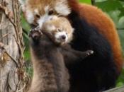 Fotos do Panda Vermelho 13