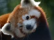 Fotos do Panda Vermelho 14