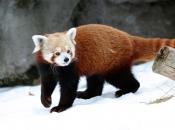 Fotos do Panda Vermelho 15