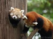 Fotos do Panda Vermelho 16