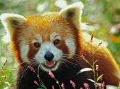 Fotos do Panda Vermelho 17