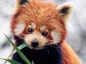 Fotos do Panda Vermelho 18