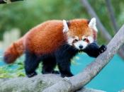 Fotos do Panda Vermelho 2