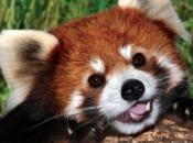 Fotos do Panda Vermelho 3