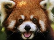 Fotos do Panda Vermelho 4