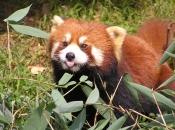 Fotos do Panda Vermelho 5