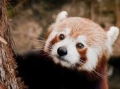 Fotos do Panda Vermelho 6