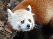Fotos do Panda Vermelho 7