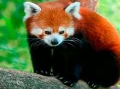 Fotos do Panda Vermelho 8